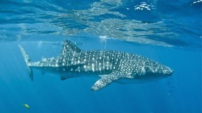 whaleshark21